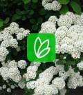 Spiraea betulifolia Спирея березолистная