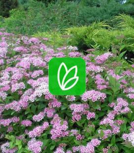 Spiraea japonica 'Little Princess' Спирея японская 'Литл Принцесс'