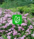 Spiraea japonica 'Little Princess' Спирея японская