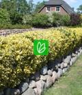 Euonymus fortunei 'Emerald 'N' Gold' Бересклет Форчуна