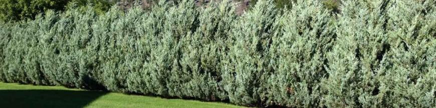 Ялівець (Juniperus)