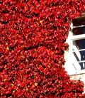 Дівочий виноград (Parthenocissus)