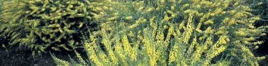 Ракитник (Cytisus)