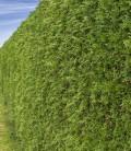 Вічнозелений живопліт