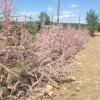 Живая изгородь из гребенщика (тамарикса)